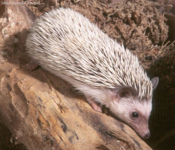 The Three African Hedgehog Health Issues You Can't Ignore