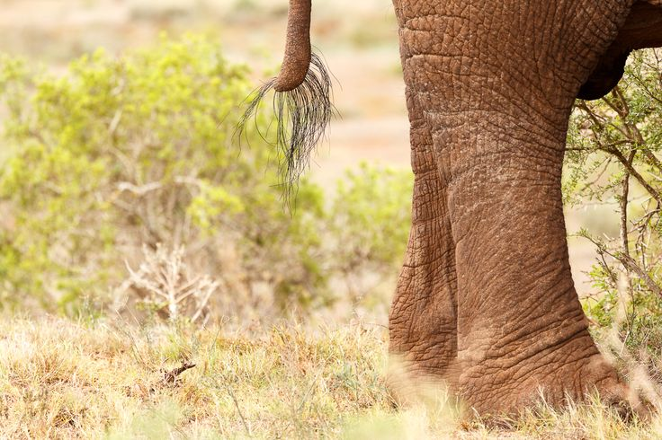 Tail and legs of a Bush Elephant  Tail and legs of a Bush Elephant standing in the field.