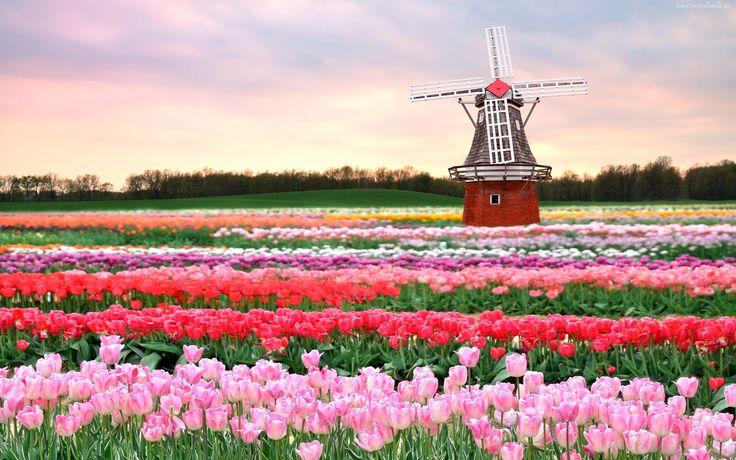 Pole, Tulipany, Wiatrak