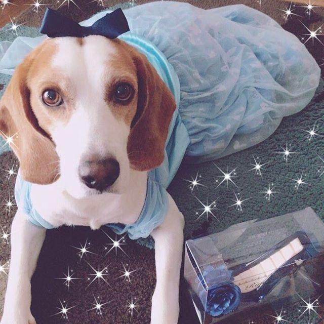 愛犬をシンデレラに👸✨(笑) So cute!! My love!! I love u more than anything my baby~💕 . . #愛犬 #溺愛 #可愛い #犬 #シンデレラ #シンデレラの靴 #ガラスの靴 #ディズニー #ビーグル #ビーグル犬 #レモンビーグル #ディズニープリンセス #プリンセス #dog #mylove #cute #sweet #love #cinderella #glassslipper #disney #disneyprincess #princess #beagle #followme #lemonbeagle