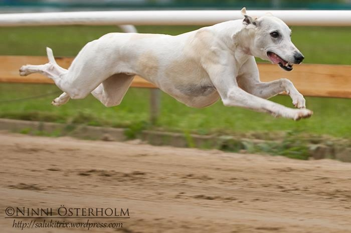 What an awesome shot! Go whippet, go!