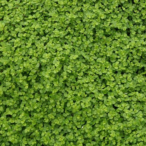 Helxine - Plante tapissante à développement rapide adaptée aux situations ombrées et fraiches.