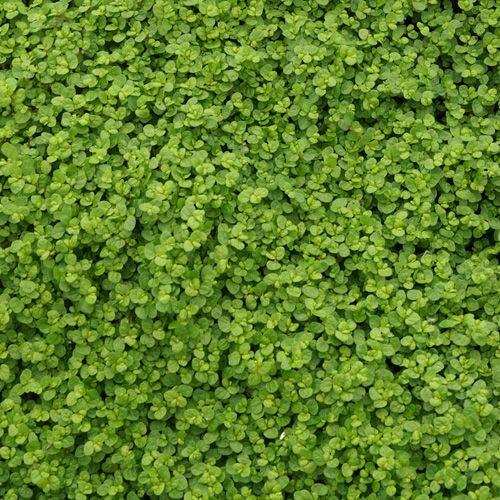 Les 25 meilleures id es concernant plante tapissante sur for Solde plante jardin