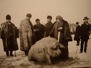 Wooly Pigs: Mangalica Telep 1931