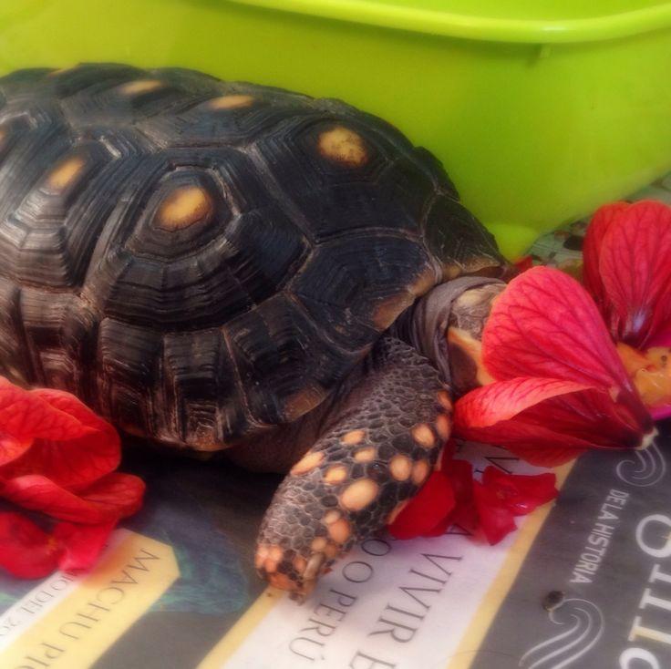 Comiendo florecitas!  #tortuga #turtle #tortoise