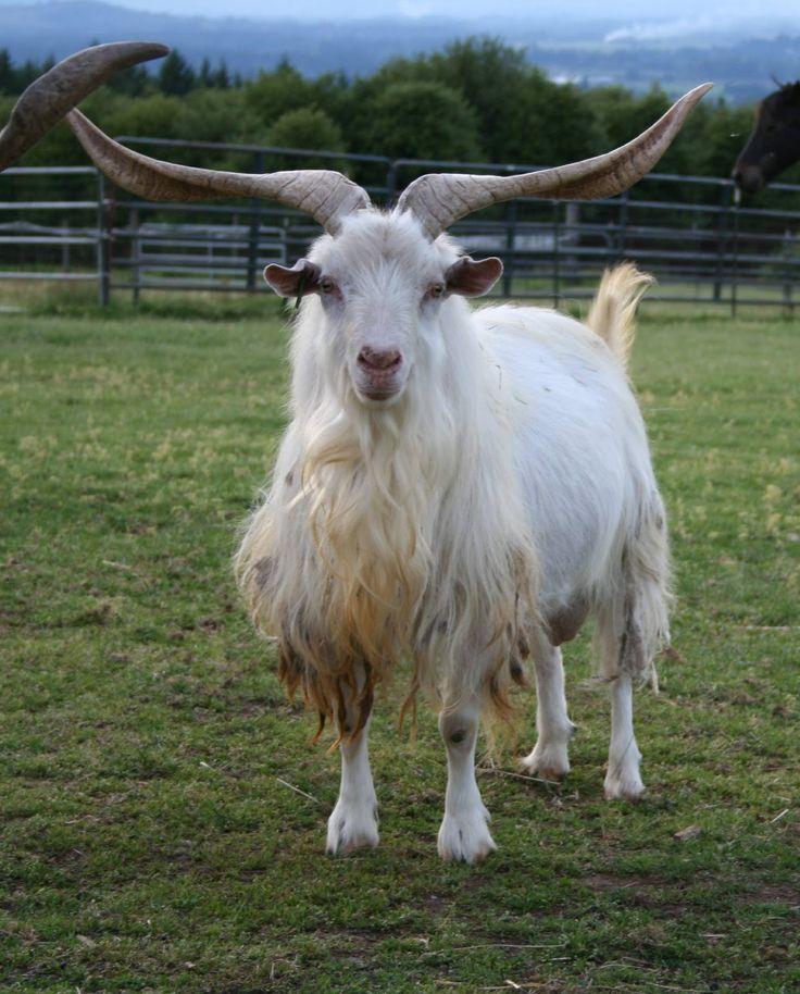 Baby cashmere goat - photo#8