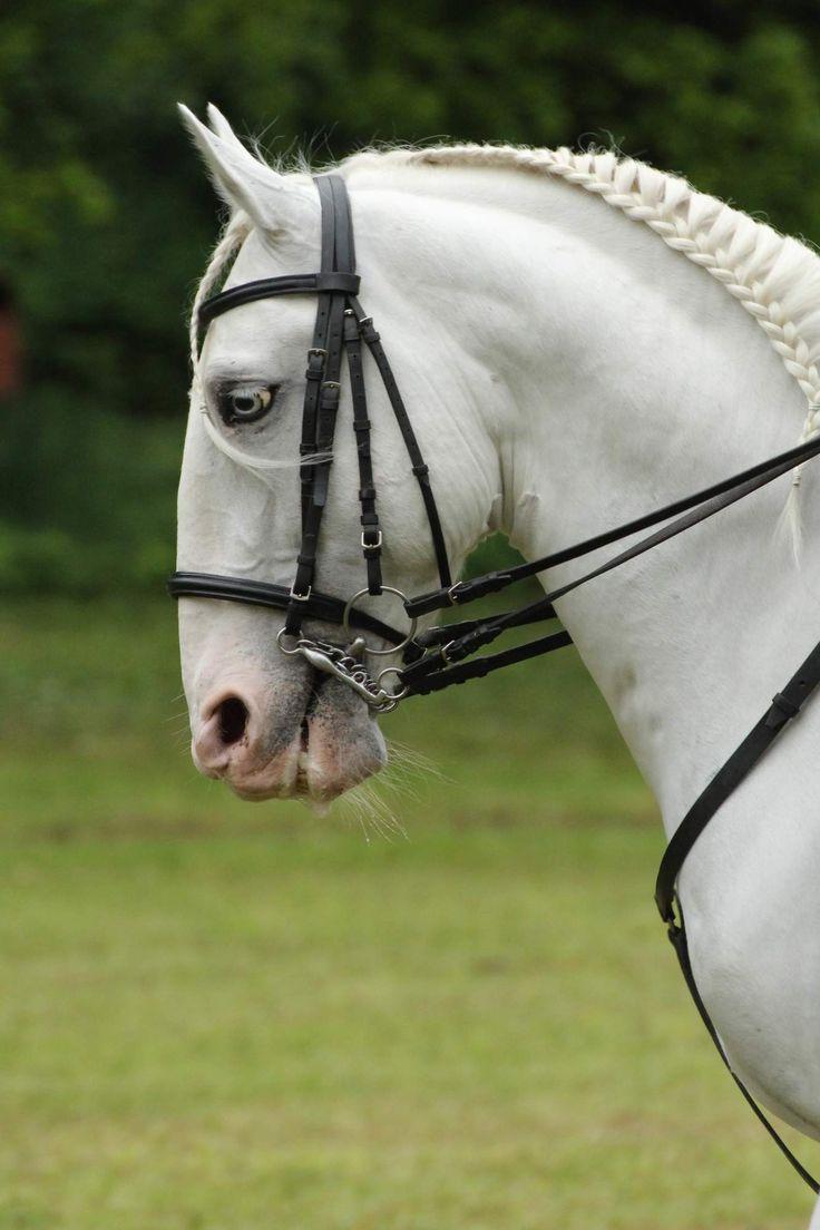 Beautiful white Kladruber.