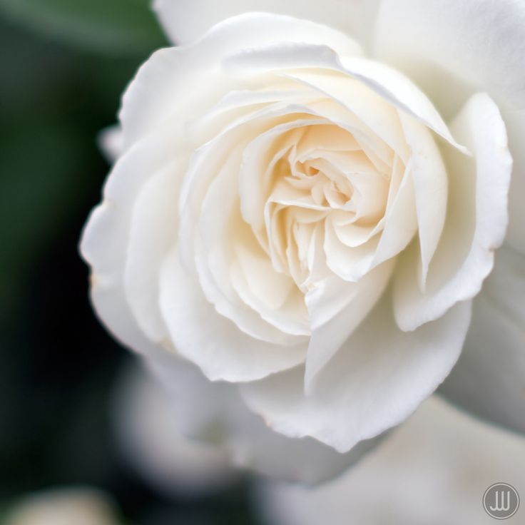 White Garden Rose Hair 644 best roses ii images on pinterest | photos, roses and album