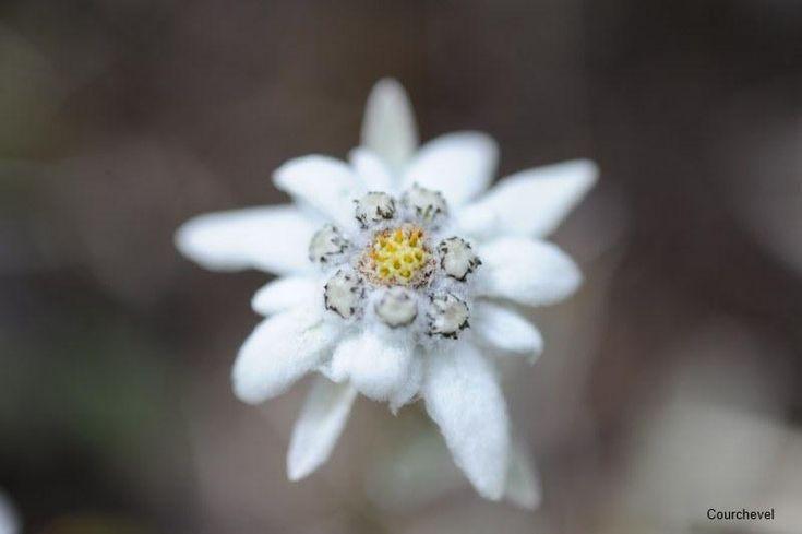 Edelweiss, fleur des Alpes