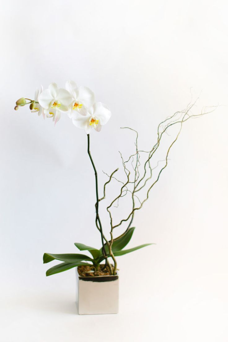 A silver cube with a 6 pot phalaenopsis orchid plant accented a silver cube with a 6 pot phalaenopsis orchid plant accented with curly willow tips from petals edge floral design via bloompophq pinterest reviewsmspy
