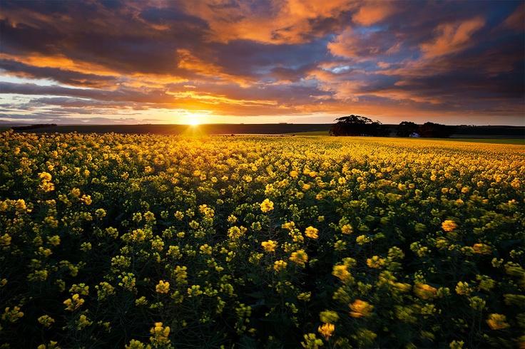 Sunrise over canola fields near Napier - Napier / South Africa