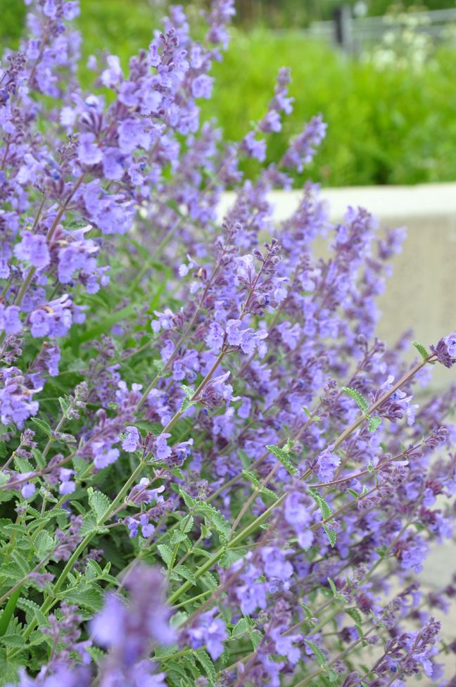 Blue Catmint, Nepeta racemosa 'Walker's Low' is a long blooming perennial (if regularly deadheaded) that has a mounded, bushy habit. It has grey-green foliage and blue flowers. Full sun. Height: 60-90 cm (23-35 inches), Spread: 75-90 cm ( 29-35 inches). Looks good under roses.