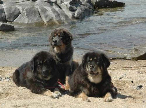 Tibetin Mastiff Dog
