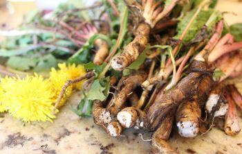 Caffè di tarassaco: le radici con cui si prepara