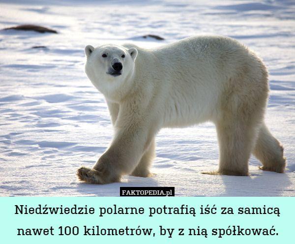 Niedźwiedzie polarne potrafią iść za samicą nawet 100 kilometrów, by z nią – Niedźwiedzie polarne potrafią iść za samicą nawet 100 kilometrów, by z nią spółkować.