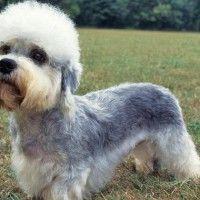 #dogalize Razze Cani: il cane Dandie Dinmont carattere e prezzo #dogs #cats #pets