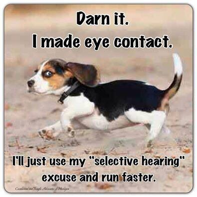 "SO true! If you make eye contact with your beagle when trying to retrieve them whilst out for a walk, you're screwed! .... They'll think ""Ah, the human knows where I am, I'll do whatever I like"" :-Y"