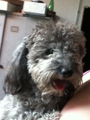 Rinnovo appello! 29/07/2013 Charly, cane barboncino maschio a manto grigio, età 1 anno. E' in strada da più di 1 mese!! Zona Villanova di Guidonia (Rm) | IoLibero