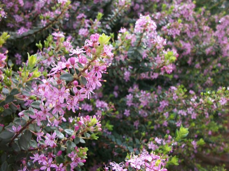 Agathosma ovata ..a creeping form of fragrant boegoe, known for essential oil production and loved by bees.