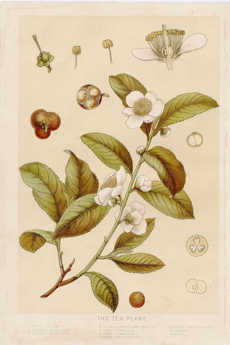 beautiful botanic tea print