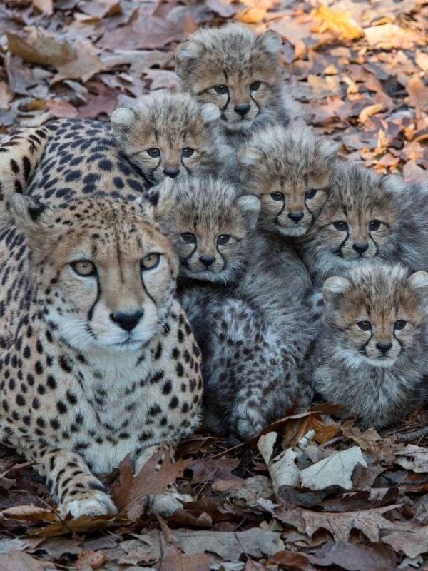 De zes cheetas met hun moeder in Burgers' Zoo.