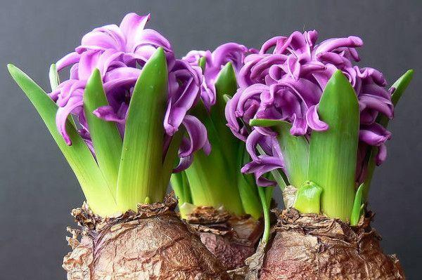 São chamadas de plantas bulbosas aquelas que têm uma estrutura de bulbo, como a babiana (Babiana) e a íris (Iris). Também são consideradas bulbosas as plantas oriundas de uma estrutura chamada cormo, como o gladíolo (Gladiolus) e a frísia (...
