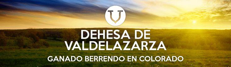 Dehesa de Valdelazarza. Ganado berrendo en colorado #cabestros #campocharro #salamanca #spain #animals #animales #fauna #flora #toros #campo #horns  #dehesa #finca