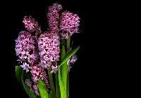 Hiacynt, Bukiet, Kwiaty