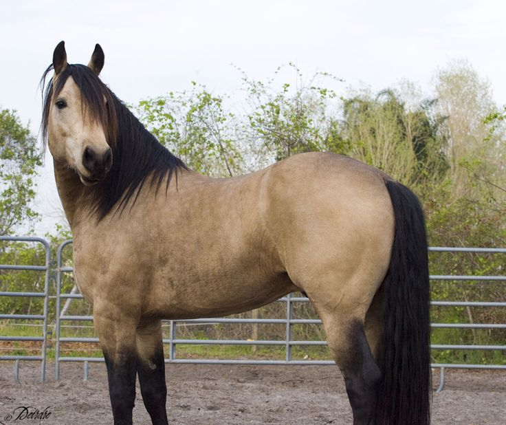 Buckskin 3 by Deirdre-T.deviantart.com on @deviantART  This is the ONE! Must get my hands on a horse like him.