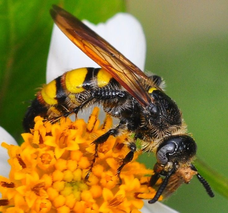 Eastern Yellow Jacket Wasp | Call A1 Bee Specialists in Bloomfield Hills, MI today at (248) 467-4849 to schedule an appointment if you've got a stinging insect problem around your house or place of business! You can also visit www.a1beespecialists.com!