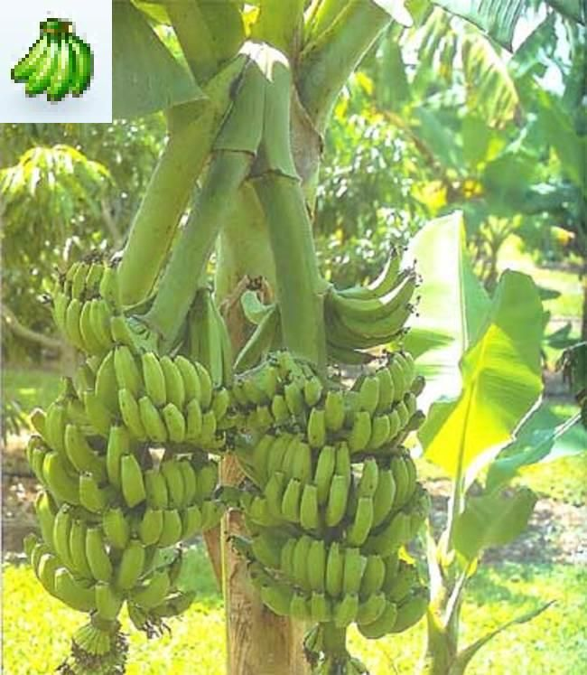 Best 25 Musa banana ideas on Pinterest Green leaves Leaves and