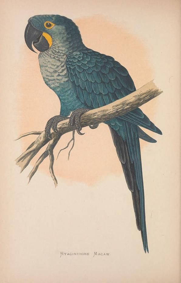 Hyacinthine Macaw. Parrots in captivity v.2 London :George Bell and Sons,1884-1887 [i.e. 1883-1888] Biodiversitylibrary. Biodivlibrary. BHL. Biodiversity Heritage Library
