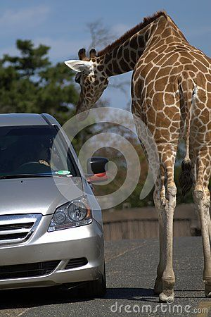 Rear view of a giraffe. Giraffe on the asphalt road. Blue sky. Brown skin. Silver car. The gray road. Long neck. Profile of the giraffe.