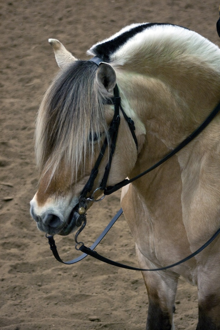 Norwegian Fjord horse - Love the roached mane...