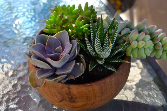 Velvety Violet Succulent in wooden container for by BotanyDecor