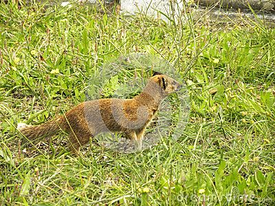 A close-up view of a Yellow Mongoose hunting in a graveyard.
