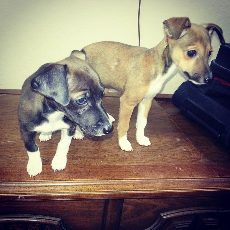 Pharaoh Hound Italian Greyhound Mix Italian Greyhound Germ...