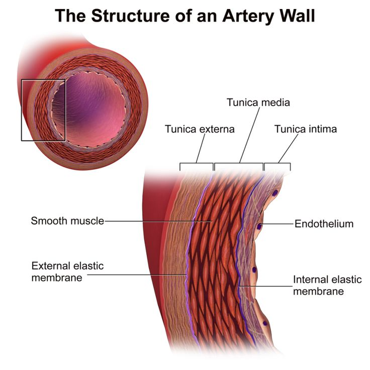 Anatomy of an artery