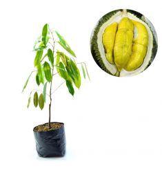 Durian Kumbokarno 60cm Rp 120,000