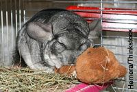 If a chinchilla drools, drops food or loses weight, it might have a dental problem.