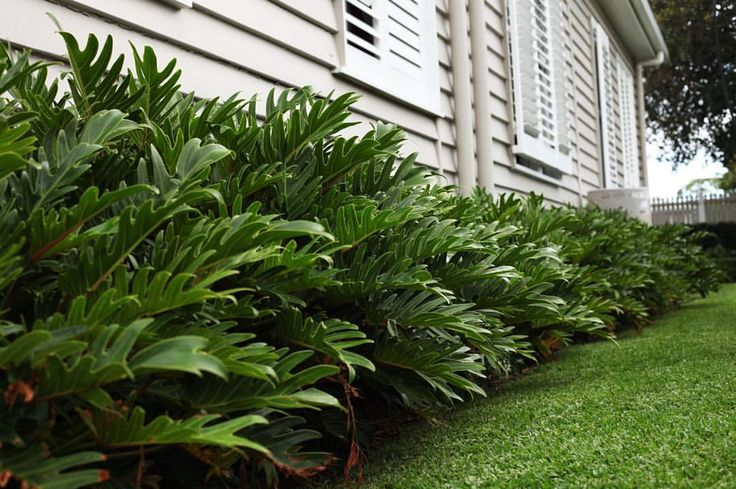 This side of the house is where the kids mostly play, we wanted a hardy plant that could withstand all the footballs and soccer balls, yet still maintain that beachy, tropical feel. #xanadu #plantation #garden #beachcottage #beachhouse #beachstyle #sirwalter #myhome #mystyle #shutters #beach #landscape