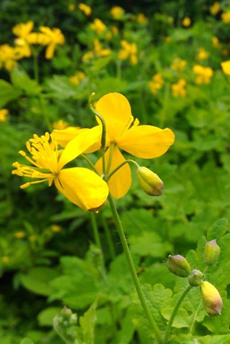Gyógynövény határozó - Fecskefű A növény felhasználandó része a gyökér és a virágos hajtás. Teljes virágzáskor gyűjtik a tavaszi hónapokban, néha gyökérzettel. A gyökérzetet ősszel vagy tavasszal szedik.