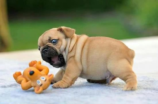 """""""I'll only kill you a little"""" Playful pug baby ❤️ #pug"""