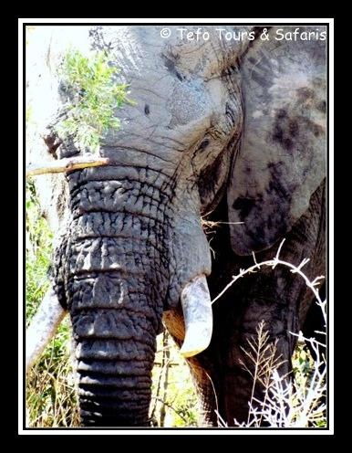 Kruger National Park, South Africa.  Elephant spotted on Tefo Tours & Safaris tour in Kruger Park