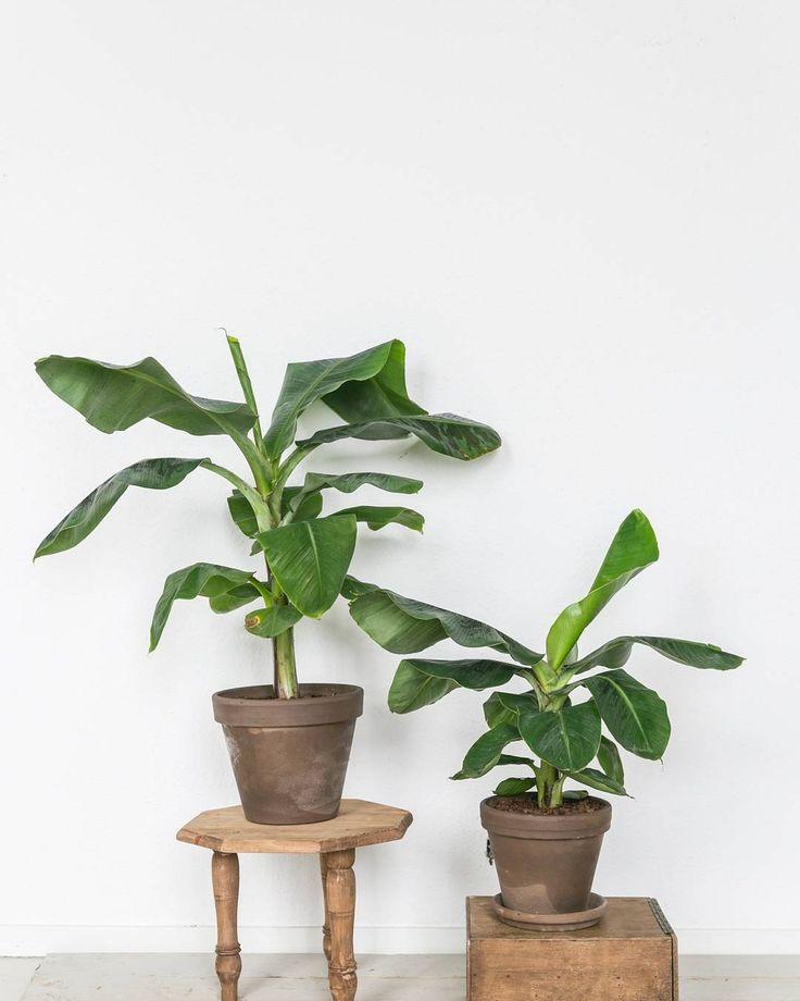 B R E A T H E G R E E N // Hallo weekend! Staat er in jouw stulpje al zo'n grote groene vriend te pronken? #bananenplant #musa