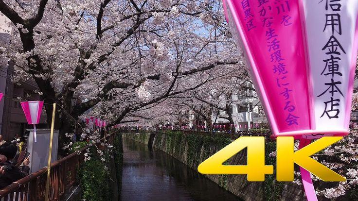 Walking around Nakameguro and its Sakura - 中目黒 - 4K Ultra HD 🌸 🇯🇵 🗼