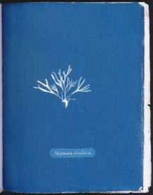 cyanotype-anna-atkins-algue-