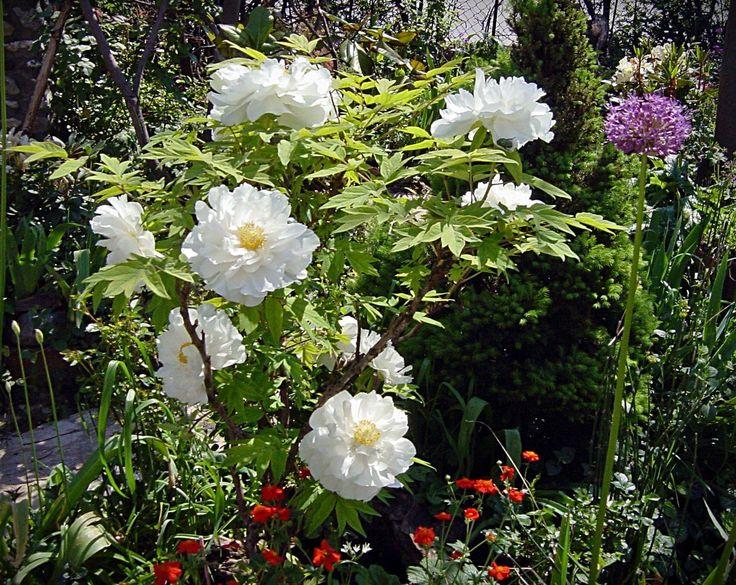Peonías blancas en el jardín