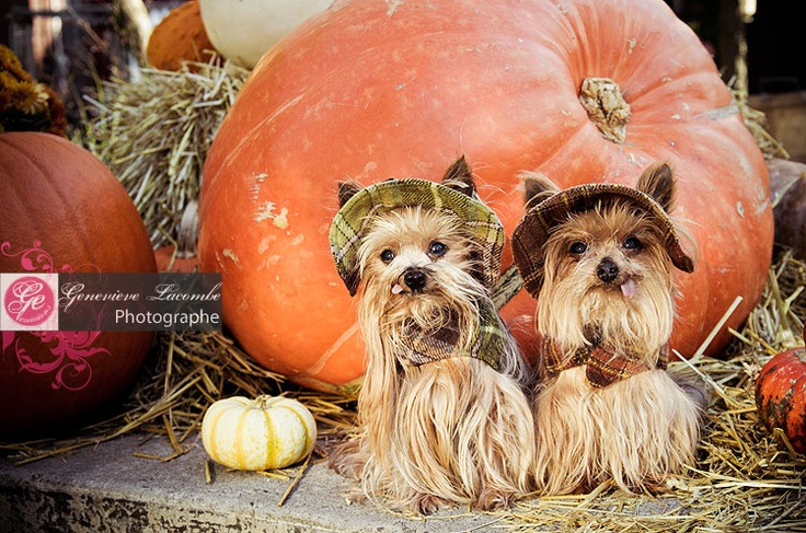 163 Best Images About Yorkies Funny And Cute Photos On