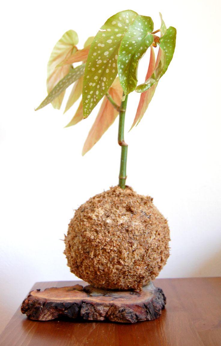 Begonia tamaya kokedama